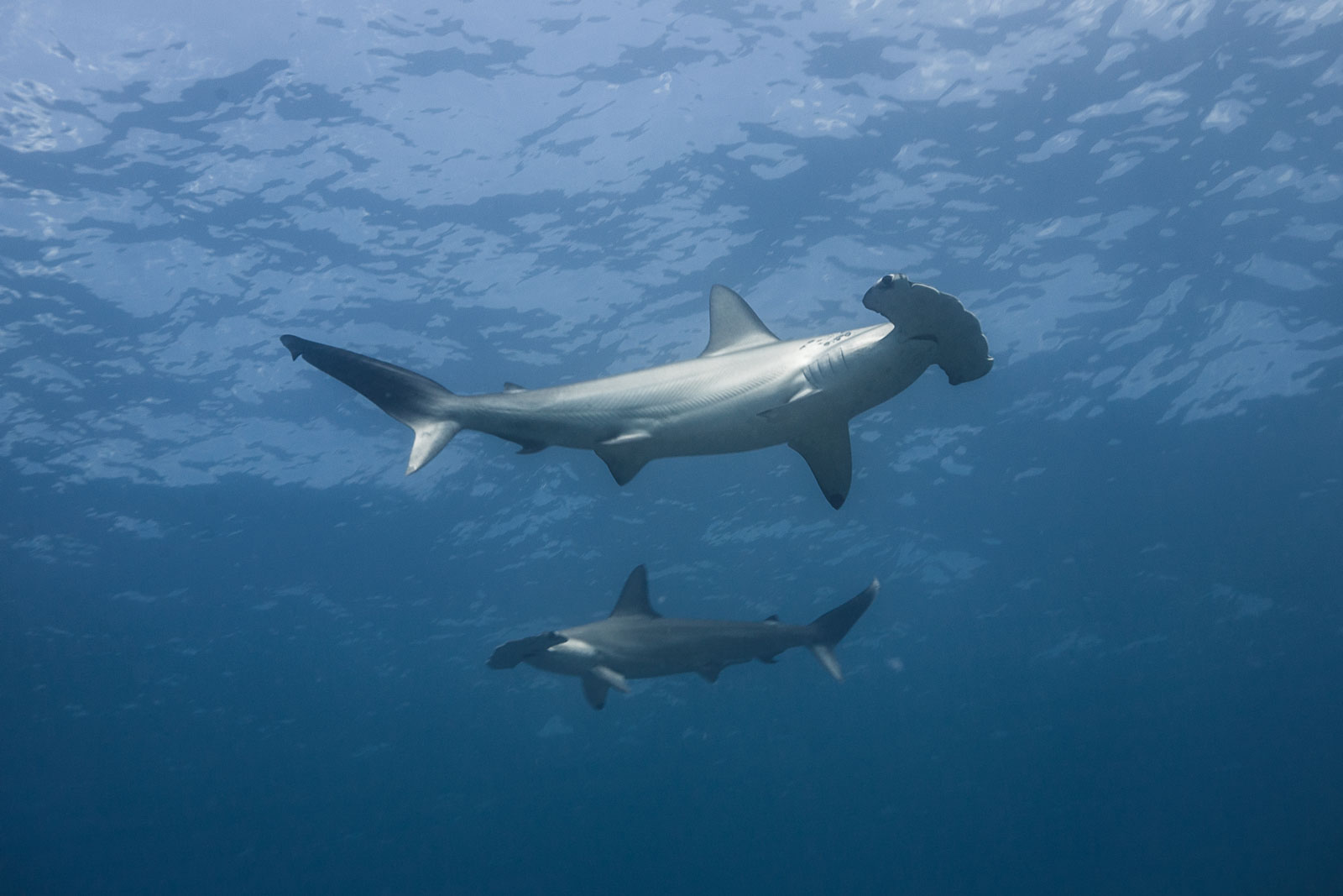 great hammerhead shark pictures - HD1600×1067