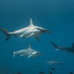 Requins marteau Halicorne, Sphyrna lewini. Malpelo. Colombie © Frédéric Buyle. Explorations de Monaco.