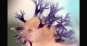 Tritonia hirondelle, nouvelle espèce : vue de face © Karen Osborn SNMNH