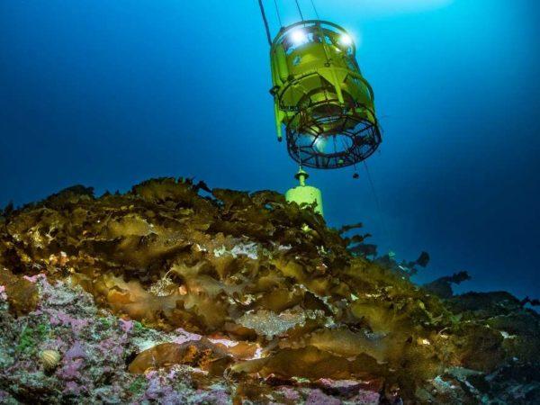 Tourelle sur un site français connu pour abriter des laminaires de Méditerranée, Laminaria rodriguezii. ©Laurent Ballesta – Andromède Océanologie.